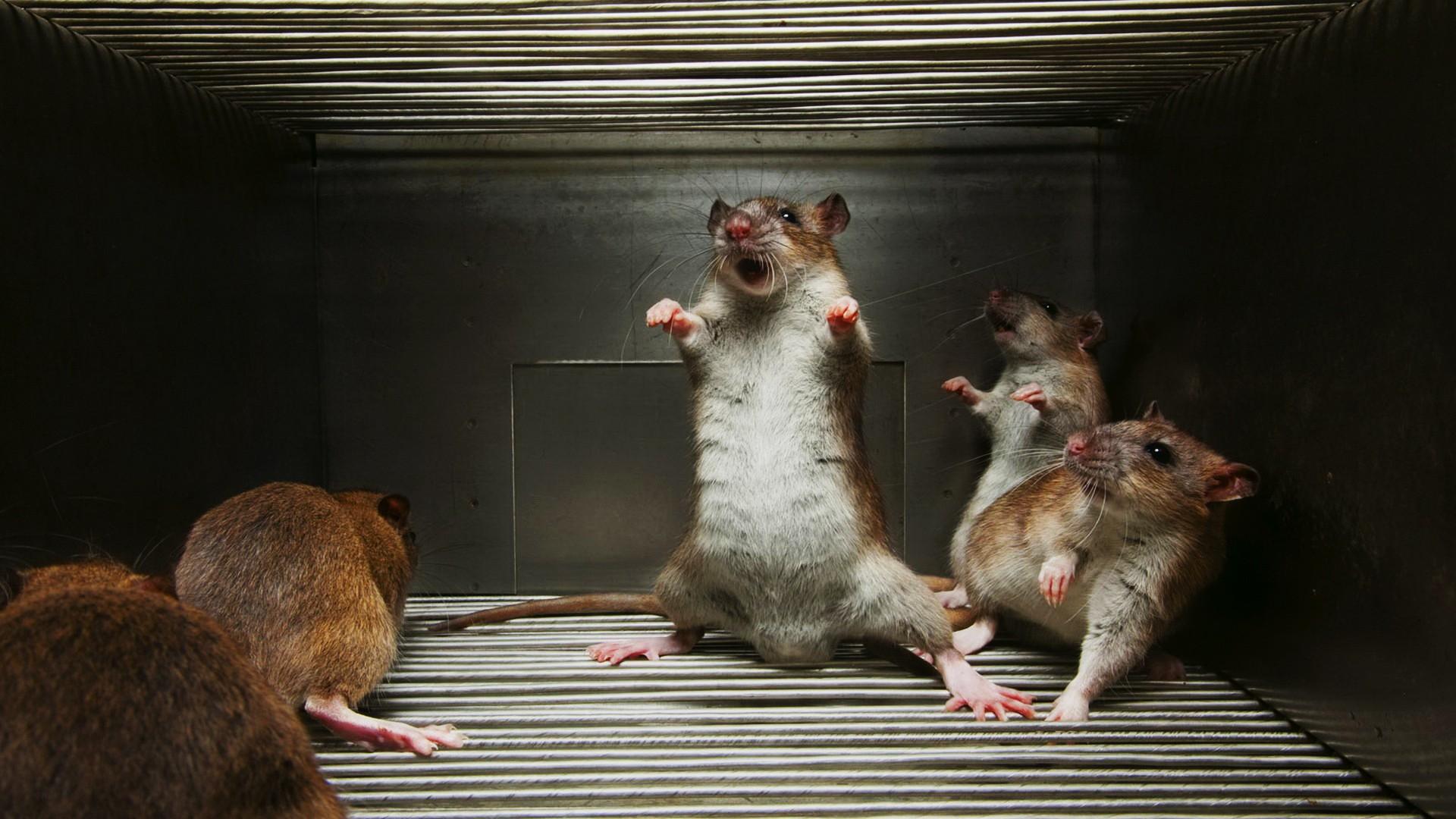 мой прикольные картинки с крысами на рабочий стол только